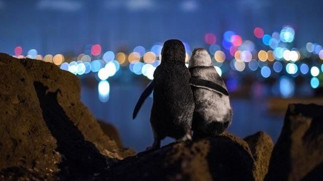 2 pinguins em melbourne
