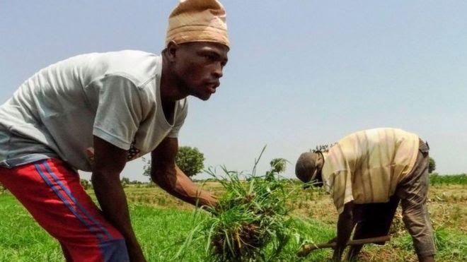 Rice farm for Kano