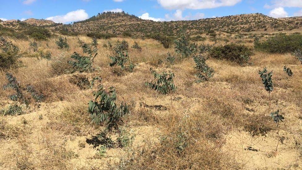 Tree plantation in Tigray province