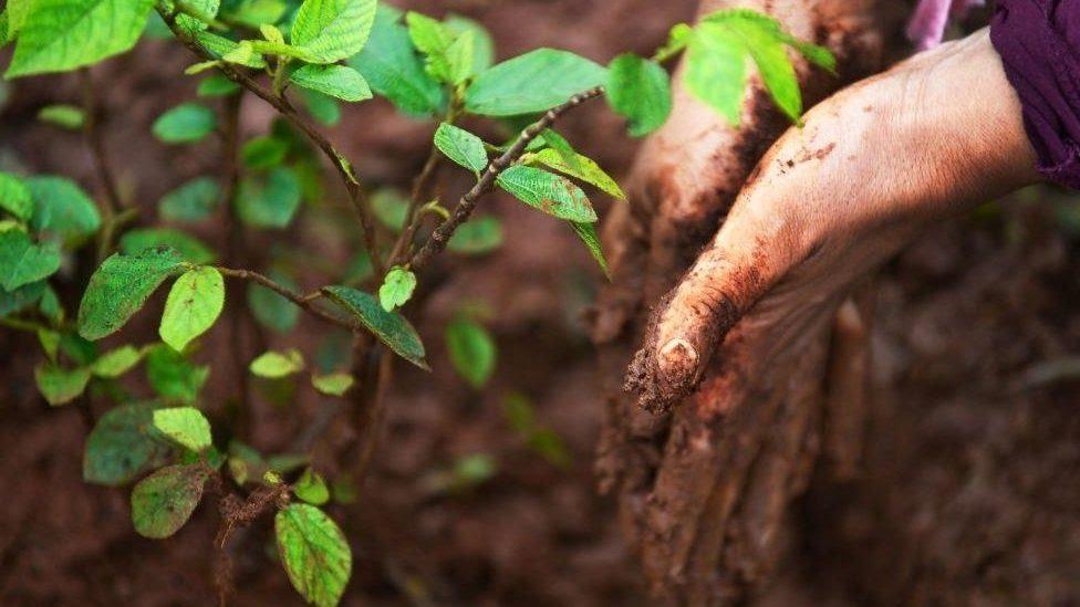 Tree sapling next to muddy hands